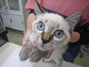 病院猫 2回目ワクチン